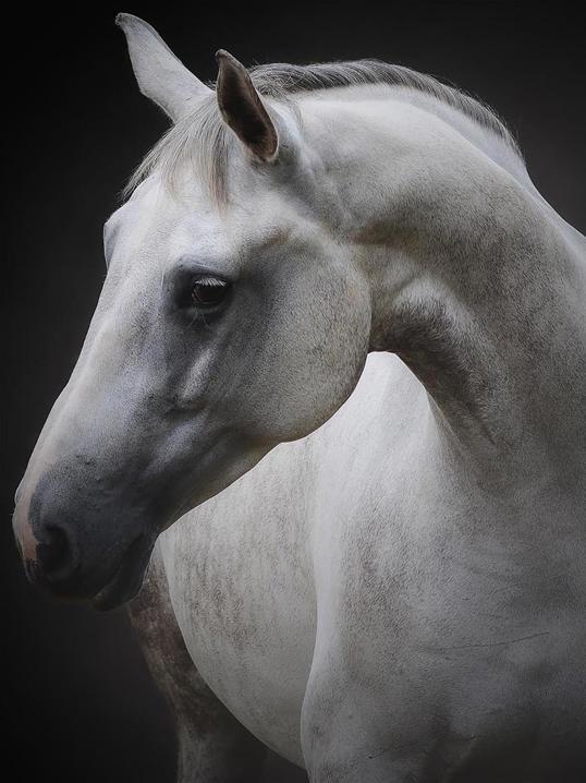 Poster White Horse 50x70