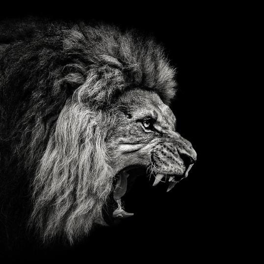 Poster Lion Rawr 70x70