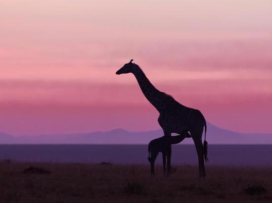 Poster Giraff Baby 40x50