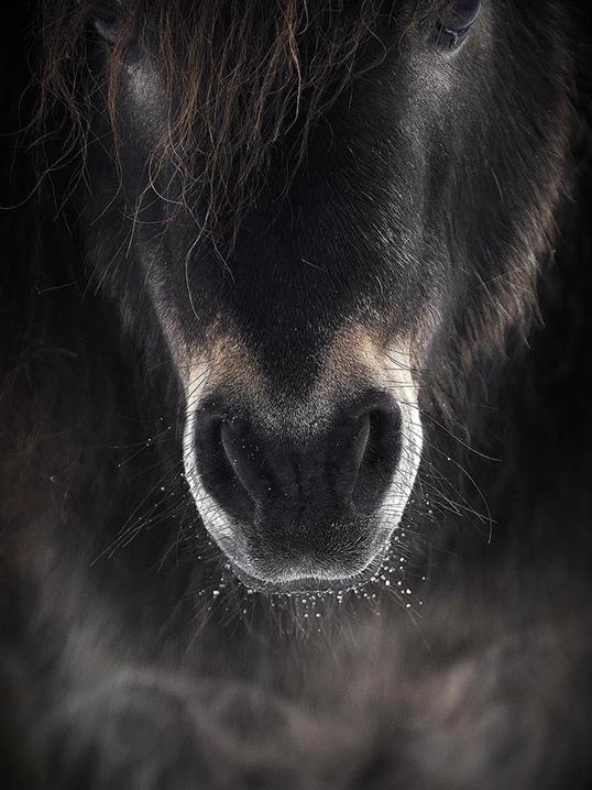 Poster Horse Mule 40x50