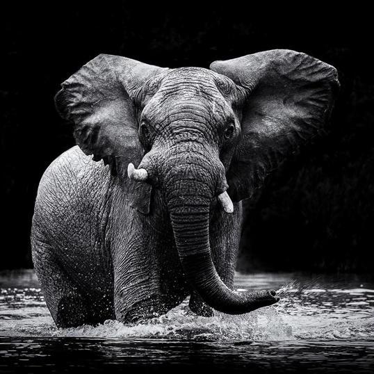 Poster Big Elephant 70x70