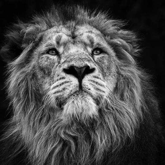 Poster Lion I 70x70